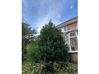 Bay Leaf Tree - Very big etablished outdoor