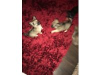Chihuahua Puppies 9 Weeks Old