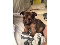 Pomchi Cross Miniature Yorkshire Terrier Puppy Girl