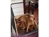 Hungarian Wirehaired Vizsla puppies for sale