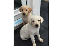 KC registered Golden Labrador puppy