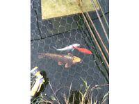Koi Carp and goldfish