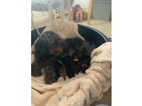 Shihpoo puppies for sale