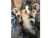 Half ragdoll kitten