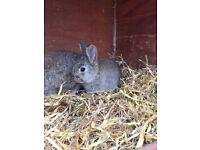 1 x Baby Rabbit left, 8 weeks old