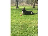 Pedigree German Shepherd pup