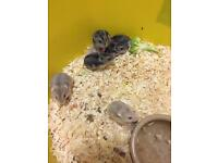 Baby Russian hamsters