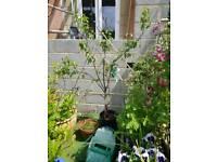Pear Fan tree