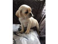 Caviler King Charles x pug puppys