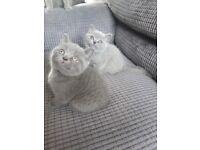 2 British shorthair kittens for sale