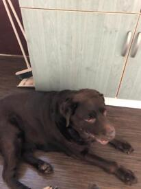 Choc lab for re homing