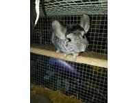 Male chinchilla and cage