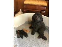 Shipoo puppies