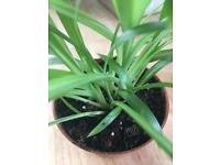 *only 1 left* Spider plants - small healthy houseplants, more rare lemon/lime plant variety