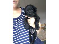 KC Registered Labrador puppy