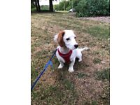 Cavashon Puppy for Sell in Buckinghamshire