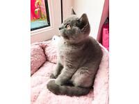 GCCF Pedigree British shorthair kittens