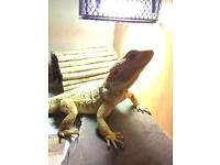 Bearded dragon needs quick rehome