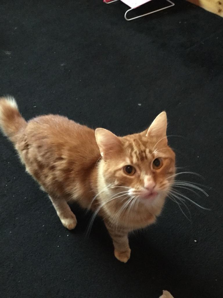 Male ginger cat