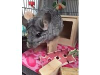 2 Pet Chinchilla's for Sale With Cage and Accessories