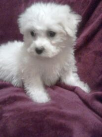 BEAUTIFUL BICHON X POODLE PUPPIES
