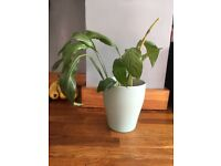 Indoor house plant peace lily in pot