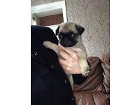 Pedigree fawn pug puppy girl