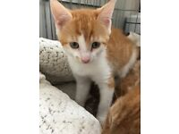 Beautiful 9wk old ginger and white male kitten. Ready to go to loving home.