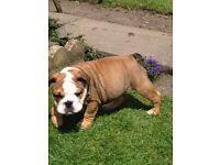 Beautiful bulldog puppy male