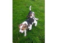 Two beautiful Beagle Boys for sale