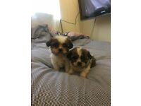 Adorable Cavalier king charles spaniel X Shih-Tzu 'CAVA-TZU' puppies for sale!!