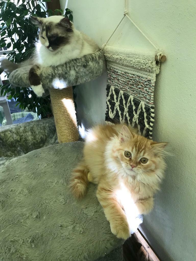 Persian Ragdoll Cross Kittens In Basildon Essex Gumtree