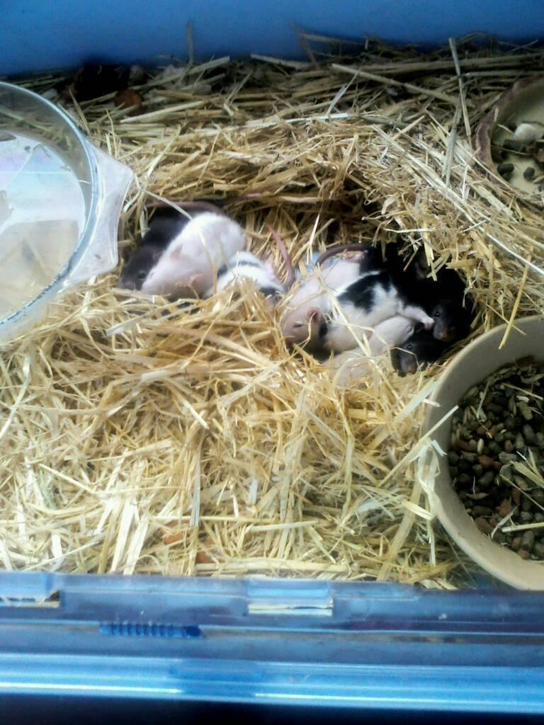 9 baby rats