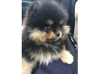 Mini Teddy Bear Pomeranian