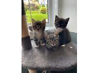 Kittens For Sale - ONLY 1 GIRL LEFT