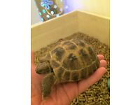 2 YEAR OLD LARGE HORSEFIELD TORTOISE BOY, SUPER TAME.