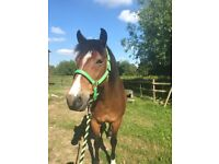 New Forest Pony FOR LOAN