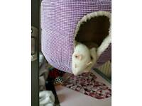 5yr old loving ferret looking for home