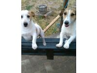 Jack Russell puppies for sale ready 24th august for their new loving homes