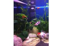 Gold fish ( redcap)