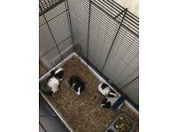 Baby guiena pigs