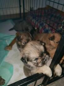 Shiranan Puppys