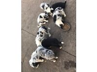 8 Gorgeous Collie Puppies for Sale