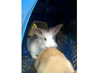 female baby rabbit for sale