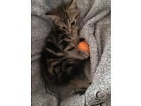 All tabby female kitten