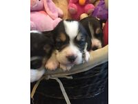 4x KC Registered Beagle Puppies for Sale