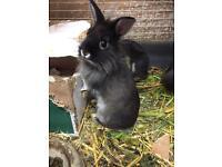 Netherland dwarf x Lionhead mix bunnies