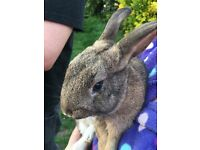 Lost Rabbits - both male, neutered. White lop-eared and brown (Smudge and Coffee)