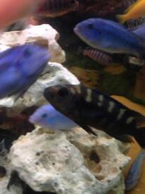 African Malawi Cichlids Fish (special 2)
