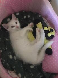Turkish angora mix kitten for sale - female 9 wk old pure white